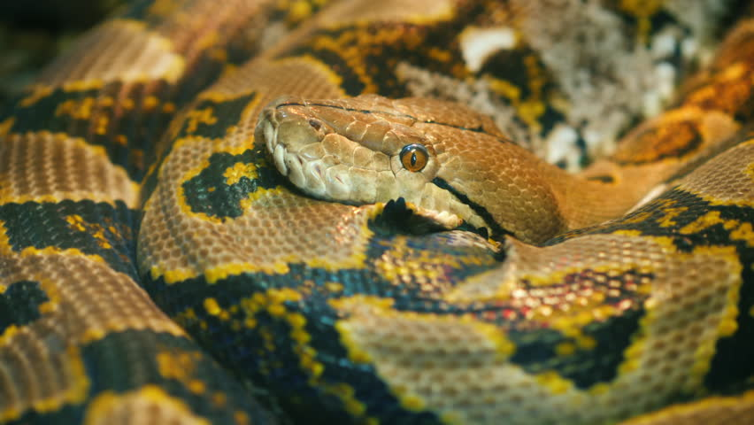 Asia's giant Reticulated Python
