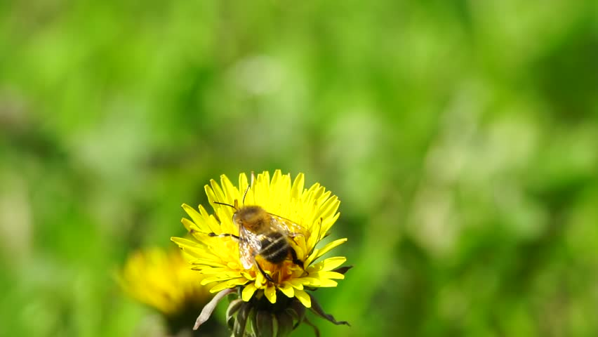 Macro of Caucasian bee Anthophora plumipes with large eyes, fluffy and brown body taking off in spring with a yellow dandelion flower in the foothills of the Caucasus | Shutterstock HD Video #1009790201