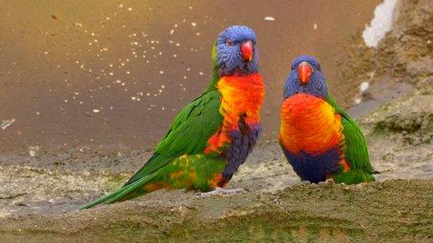 Rainbow lorikeet (Trichoglossus moluccanus) courtship rituals