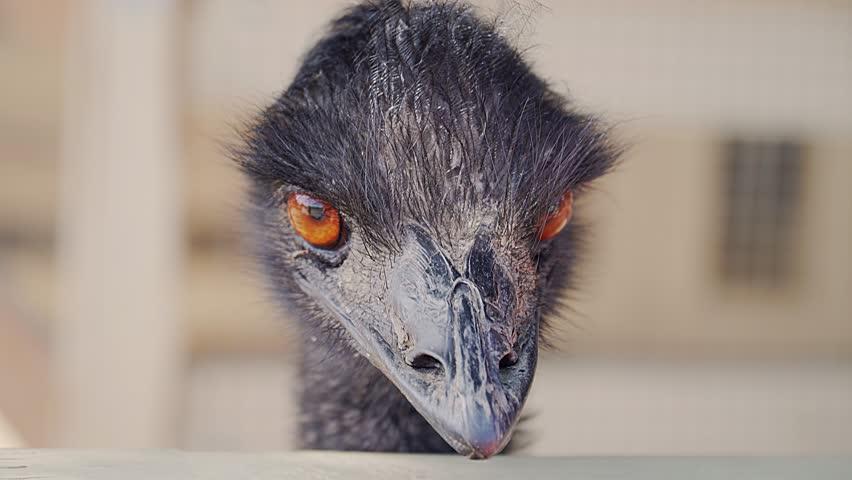 4k. Black Emu Head. Close up. Orange eye blinks. Eyes of an Emu are Protected by Nictitating Membranes.