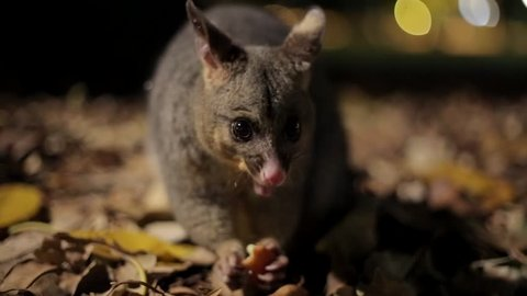 Australian brushtail possum on floor following camera close up sydney hyde park