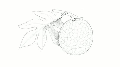 Tropical Fruits, Motion Clip of Illustration of Hand Drawn Sketch Breadfruit or Artocarpus Altilis Isolated on A White Background. High in Vitamin C, Omega 3 and 6 with Amino Acids.