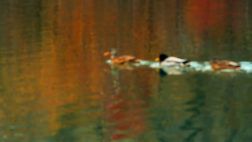 Row of ducks swimming on water
