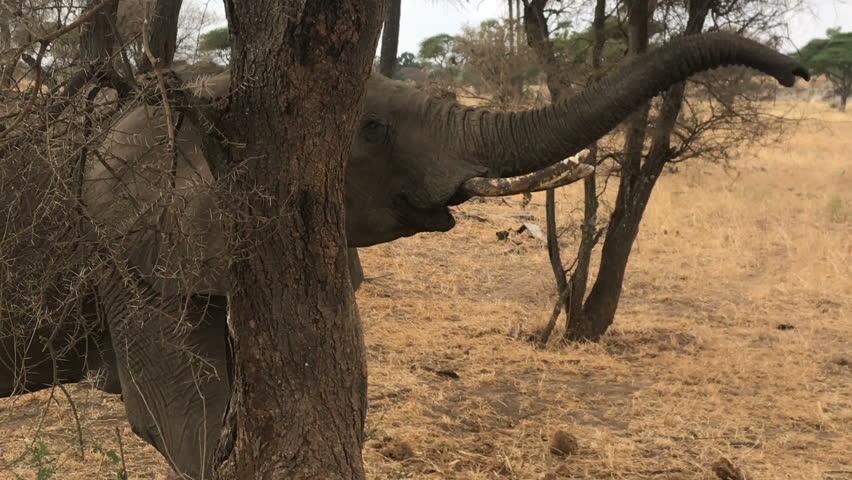 Elephant at tarangire national park Tanzania
