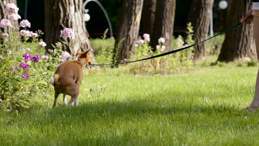 Dog walking. Basenji dog pooping on green grass in the summer park. Slow motion. HD