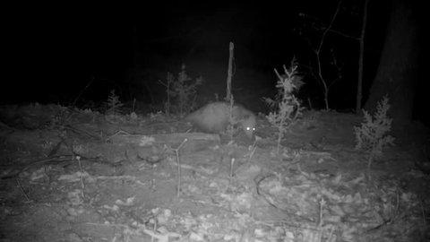Possum walking around, sniffing the ground in the woods at night