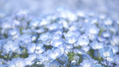 Slow motion flower and wind- Closeup of the Nemophila Flowers or Baby Blue Eye Flowers at the Hitachi Seaside Park in  Ibaraki, Japan.