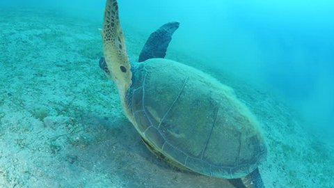 turtle underwater with remora pilot fish on