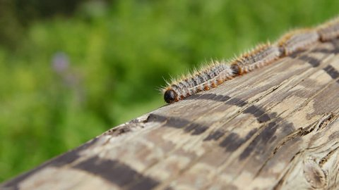 Closeup view of caterpillars crawling in single file on a piece of wood. Green defocused background. 3 different shots scales.