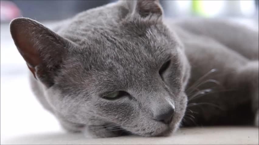 Sleeping russian blue cat
