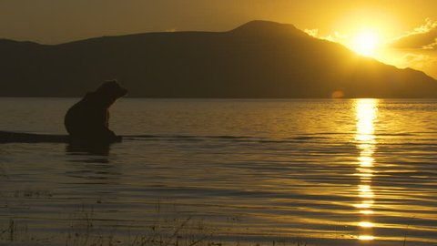 Seaplane landing on lake and brown grizzly bear sitting on coast at sunrise Katmai National Park Reserve Alaska America