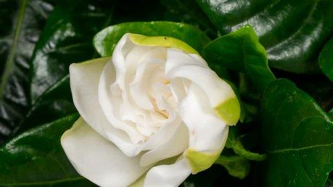 White flower opening time lapse. Gardenia Jasminoides or Cape Jasmine flower blooming on black background