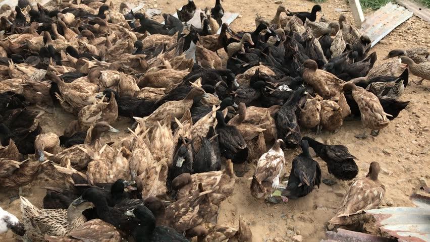 Feeding Ducks at Farm