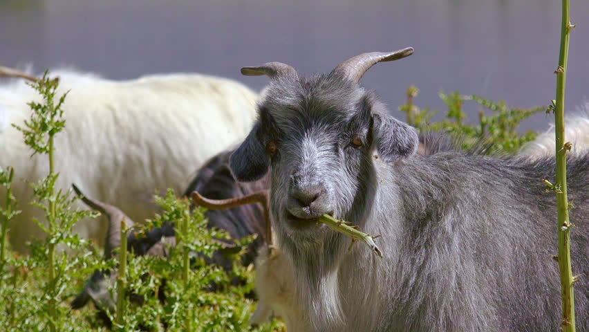 Close-up of Changthangi or Pashmina goat eating green plants or chewing herbs at Himalayan highlands. Portrait of grazing herbivorous domestic animal. Livestock husbandry in Himalayas. Ladakh, India