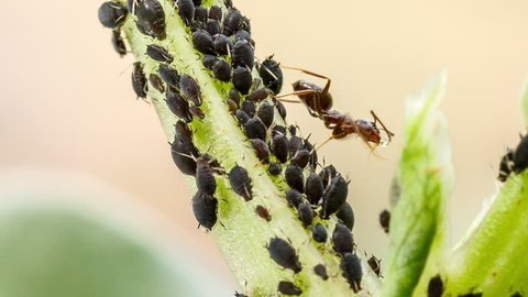 Farmer ant is milking the flock of aphids on plant stem. Example of mutualistic relationship between dairying ants and plant-louses, nature macro photography