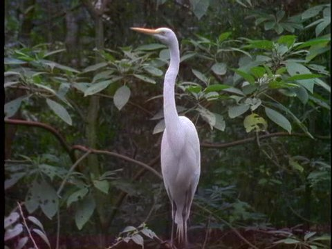 BRAZIL, 1998, Amazon jungle, birdlife, heron perched in tree, medium shot