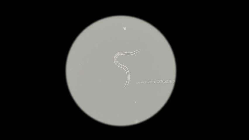 the nematode worm under a microscope