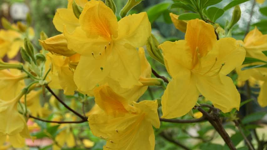Close-up of beautiful yellow azaleas during springtime. 4K UHD Nikon D500