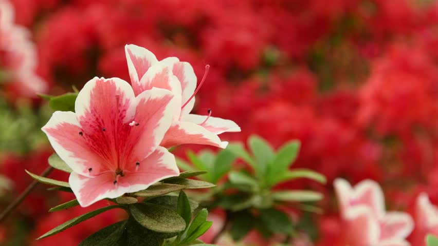 Close-up of beautiful pink Azaleas (Rhododendron) flowers in springtime.