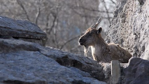 Markhor on rocks on nature