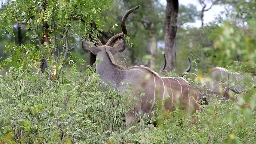kudu antelope in Kruger National park in South Africa
