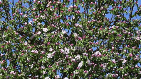 Wide shot of Pink apple blossom flowers on an apple tree