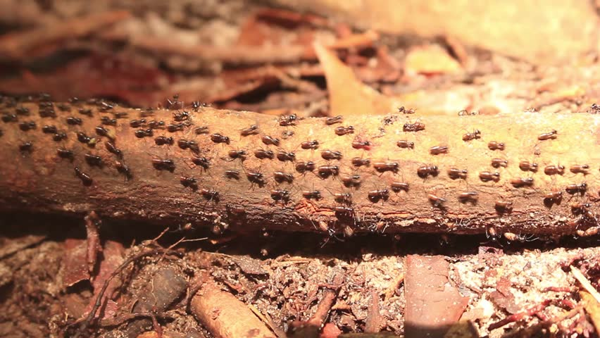 Colony of Ants marching on path in jungle