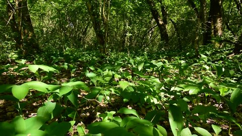 Glade of lilies of the valley growing in spring among trees in the floodplain forest Black river of the foothills of the Caucasus