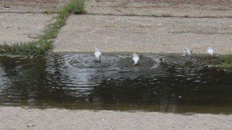 Runoff water on stone bed, watercourse. Granite aqueduct and gulls swimming in water, herring gull