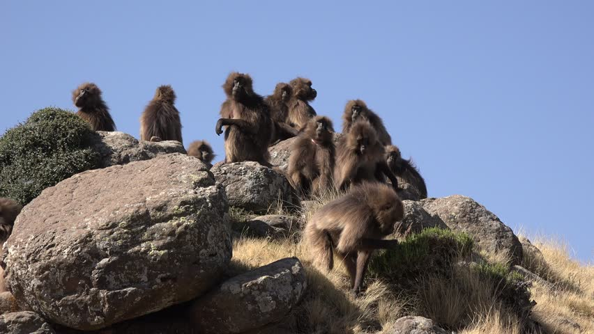 """Group of Gelada baboons sitting on top of a hill, simian mountains / Ethiopia.  They have a bright red breast why they are also called """" bleeding hearts monkey"""", are solely vegetarian and very social"""