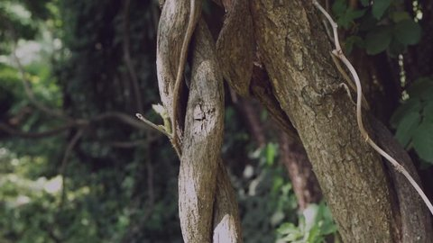 Lianas in the jungle are braided in a braid.