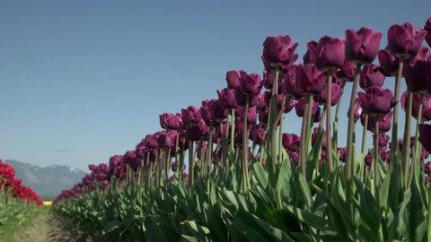 Roozengaarde Display Garden Tulip Skagit Valley