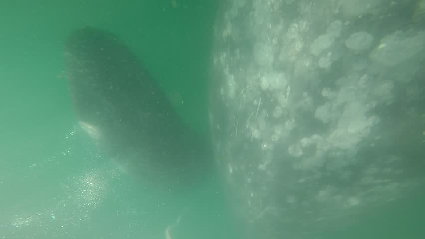 grey whale mother and calf underwater