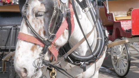 Draft horse hitched to a wagon for horse drawn carriage tours in 4k. Carriage rides are a popular family friendly tourist attraction in historical towns for site seeing.
