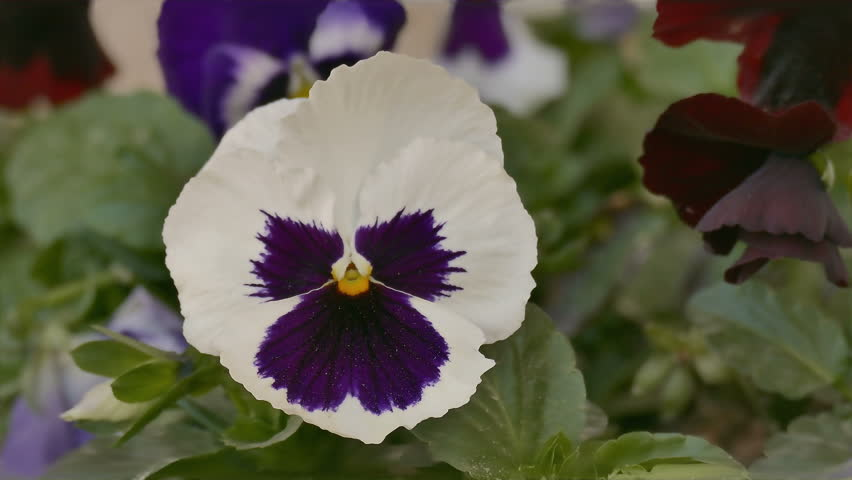Close up of a white pansy flower with green leaves on a wind