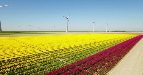 Typical Dutch Wind Mills / Turbines in the sea with Yellow Tulip Field on the Foreground