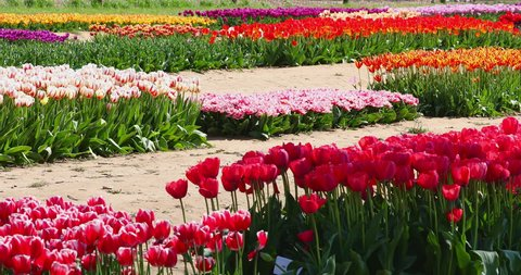 An abundance and variety of colorful tulips in the farm field sway in the wind during the Tulip Festival in spring.
