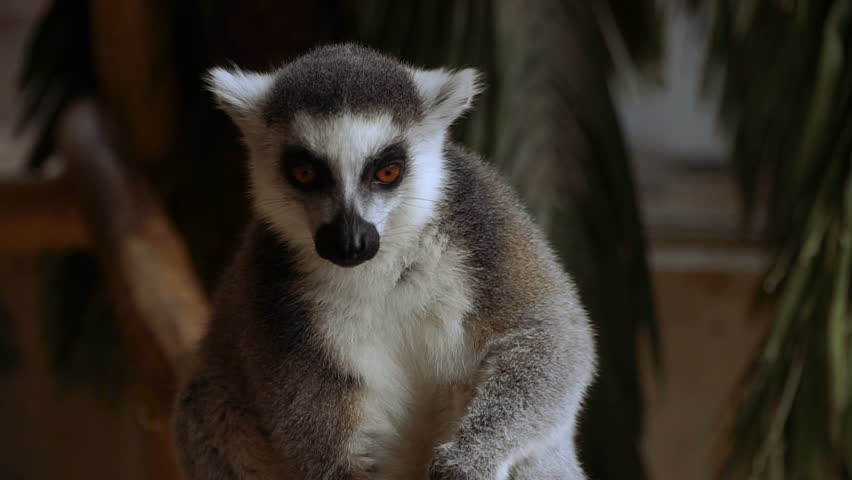 Header of lemur