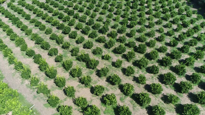 Aerial footage of citrus orchard genus of flowering trees and shrubs in the rue family Rutaceae these plants produce citrus fruits including crops like oranges lemons grapefruit pomelo and limes 4k
