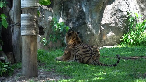 An adult Tiger Turning Head and Looking lying in the nature habitat, The big cat beautiful animal and very dangerous