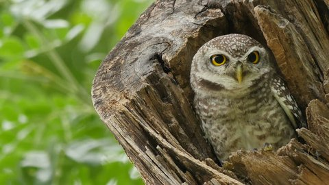 Spotted owlet in hollow tree trunk.