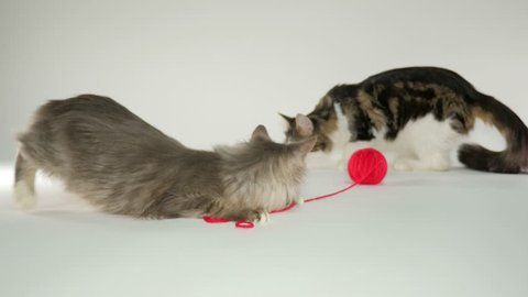 Maine Coon Cats playng with yarn