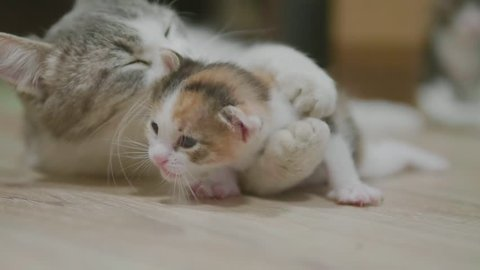 mother tricolor cat hugging little kitten takes the first steps. cat licks the kitten. cat lifestyle slow motion video licks the kitten . little kitty cat concept pet