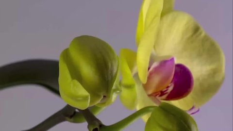 Pink and white orchid blossoming out against white background; timelapse video