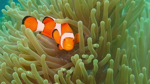 Tropical clownfish swimming in the green anemone. Nemo and anemone. Underwater nemo fish footage of the wildlife on the coral reef.