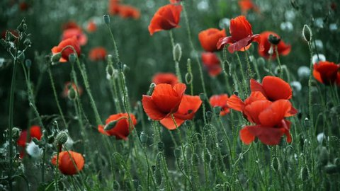Beautiful red poppies moving by tender spring wind
