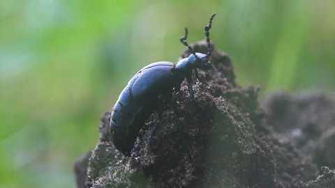 Big black beetle creeps in the green grass, American Oil Beetles are type of Blister beetle, macro insect