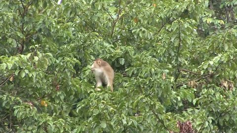 Pig-tailed Macaque feed on fruit and move in lowland rainforest tree close up
