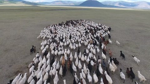 Aerial drone shot flying over a flock of sheep, in endless steppes landscape. mountains and volcano in background. Sunny day, shadow of the clouds. Location Mongolia, low altitude flight