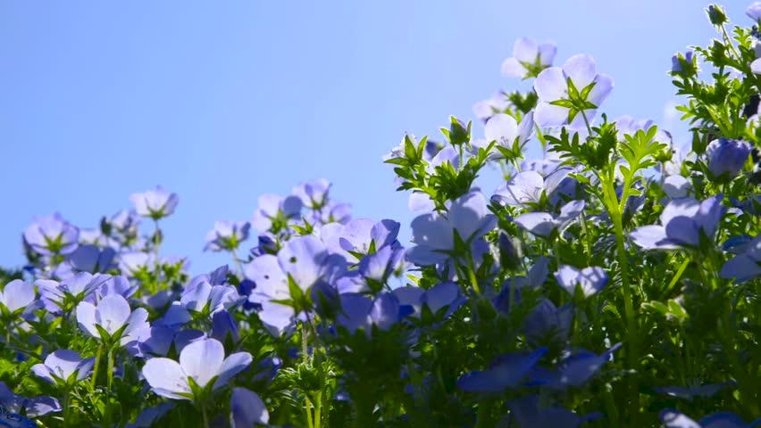 A flower of nemophila shaking in the wind.   Shutterstock HD Video #1011179261